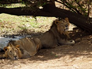 male Asiatic lions, Gir Forest, India, Gujarat