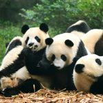 Direct flights to Chengdu: British Travellers can get Closer to Cuddly Pandas