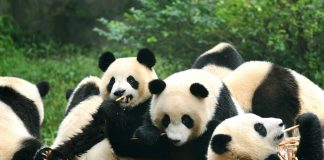 Group of giant panda eating bamboo in Chengdu, China - flights to Chengdu