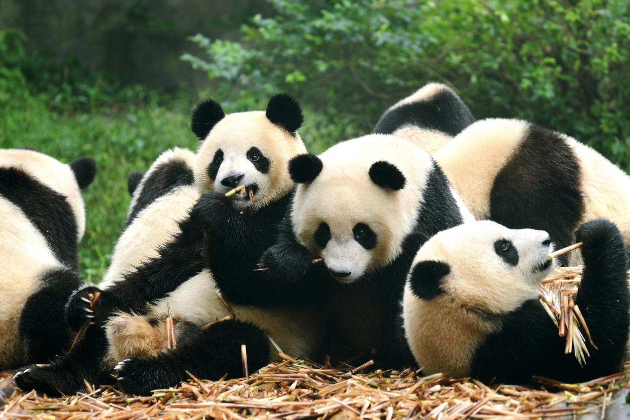Giant Pandas | Live Science