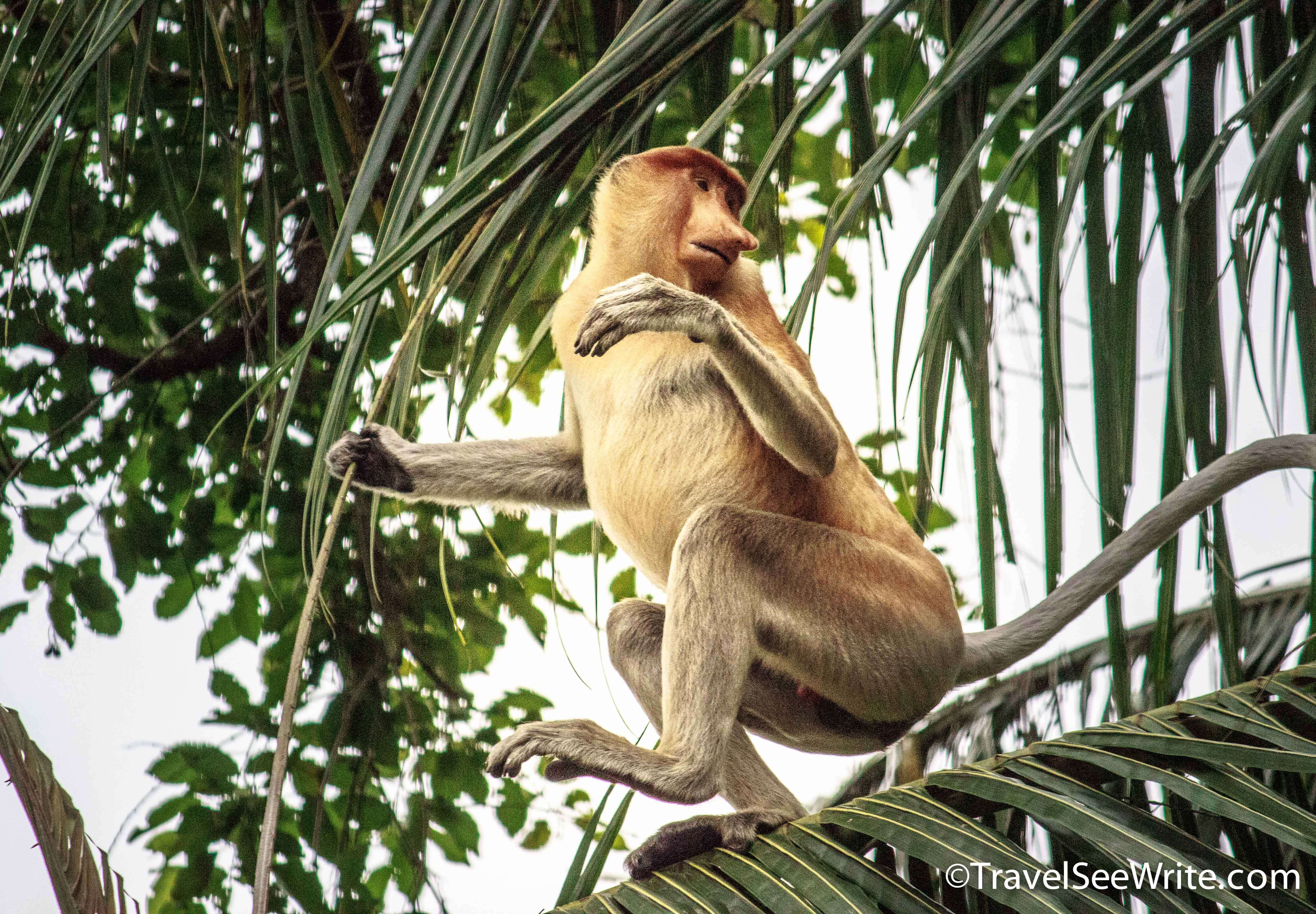 Close up of a Proboscis monkey on a tree branch - southeast asia travel