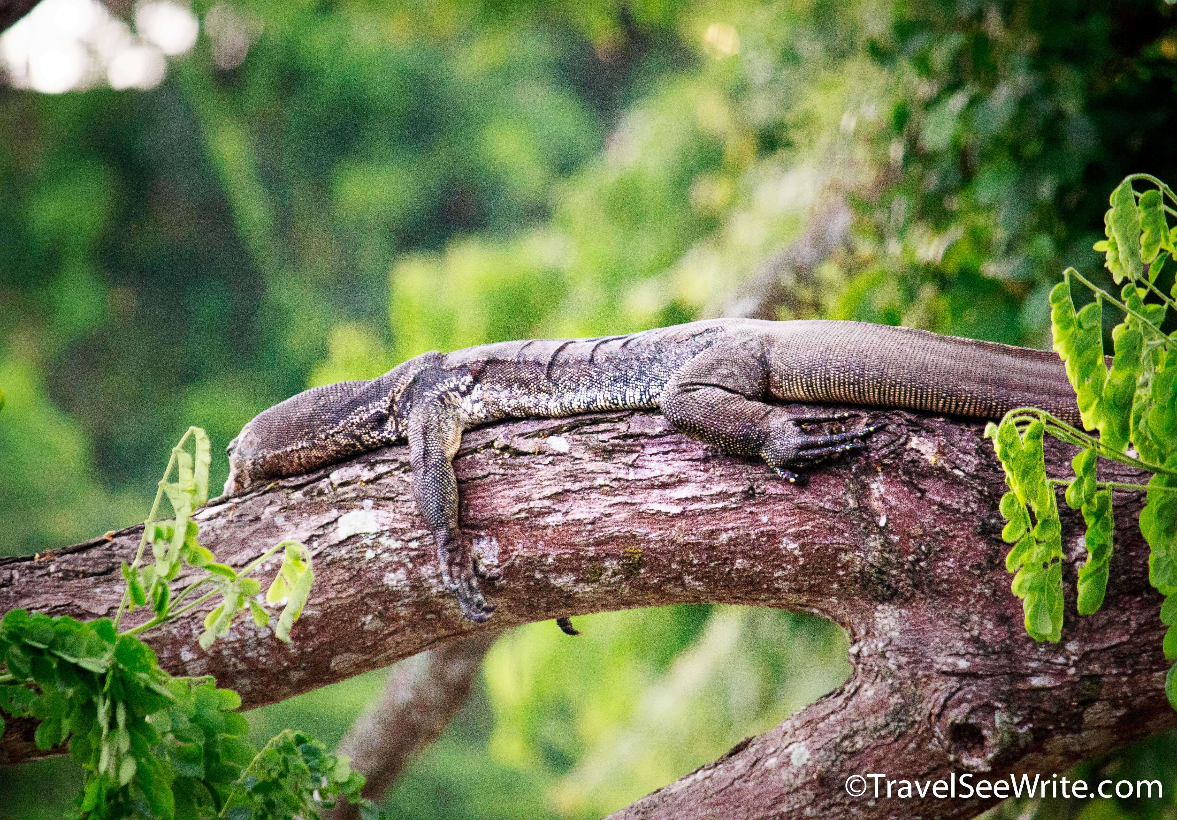 A monitor lizard snoozing on a branch - southeast asia travel