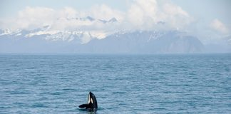 An Orca whale in Alaska. They belong in their environment, not in captivity - captive killer whales