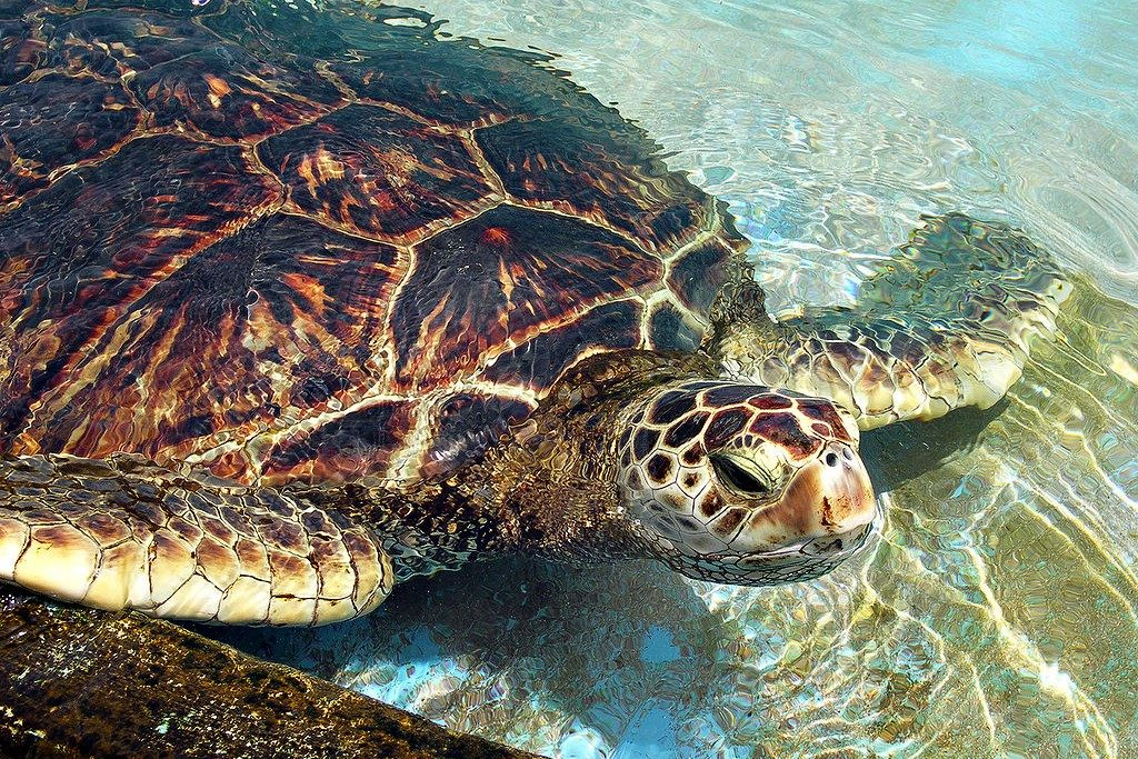 Orissa is an important habitat for the Green Sea Turtle