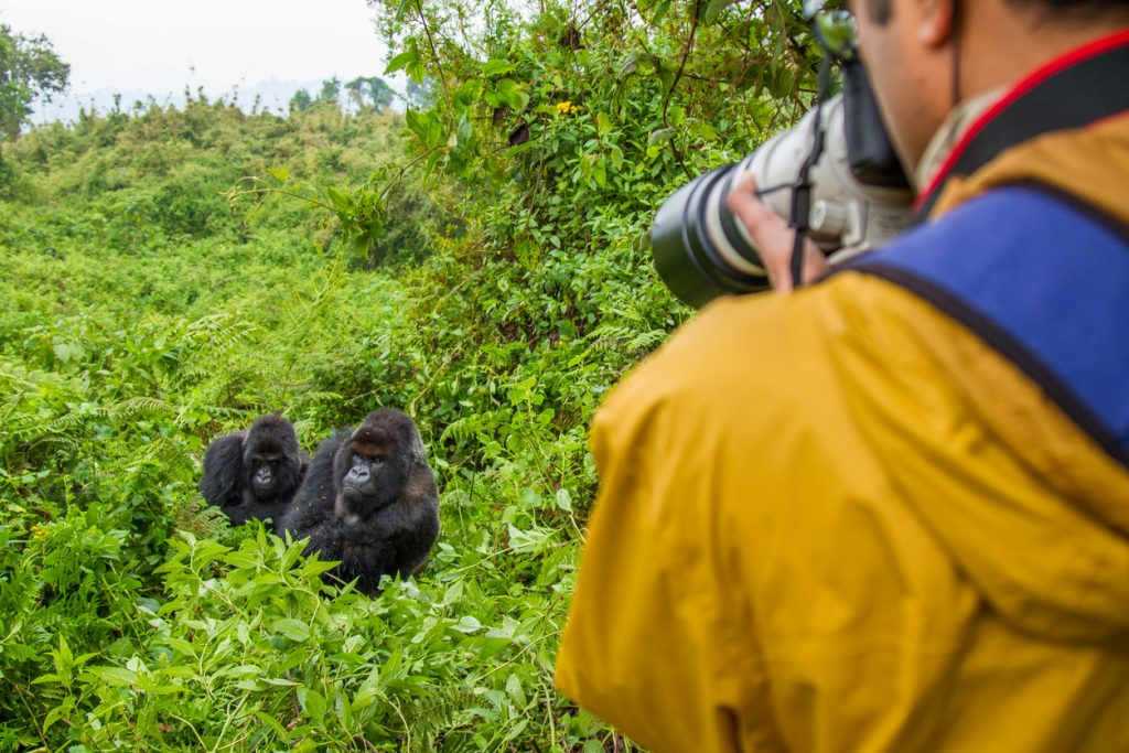 Photographer capturing two mountain gorillas in Volcanoes National Park, Rwanda, Travel Guide