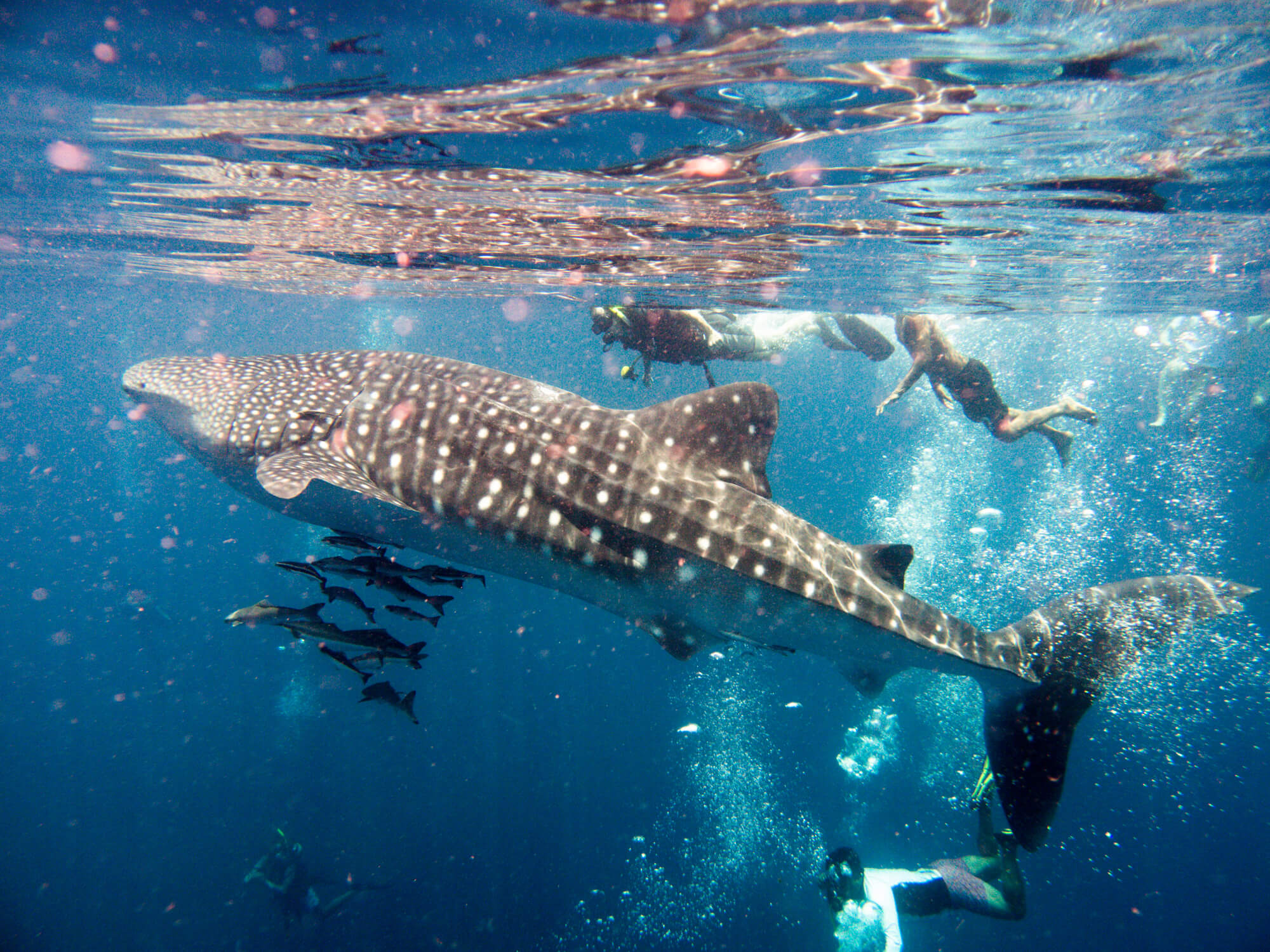 People swimming with Whale Sharks (Rhincodon typus) in the waters of Krabi - places to see in Krabi