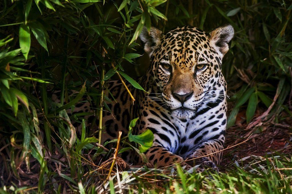 Biggest Cats, Rio Bita river basin Colombia Jaguar