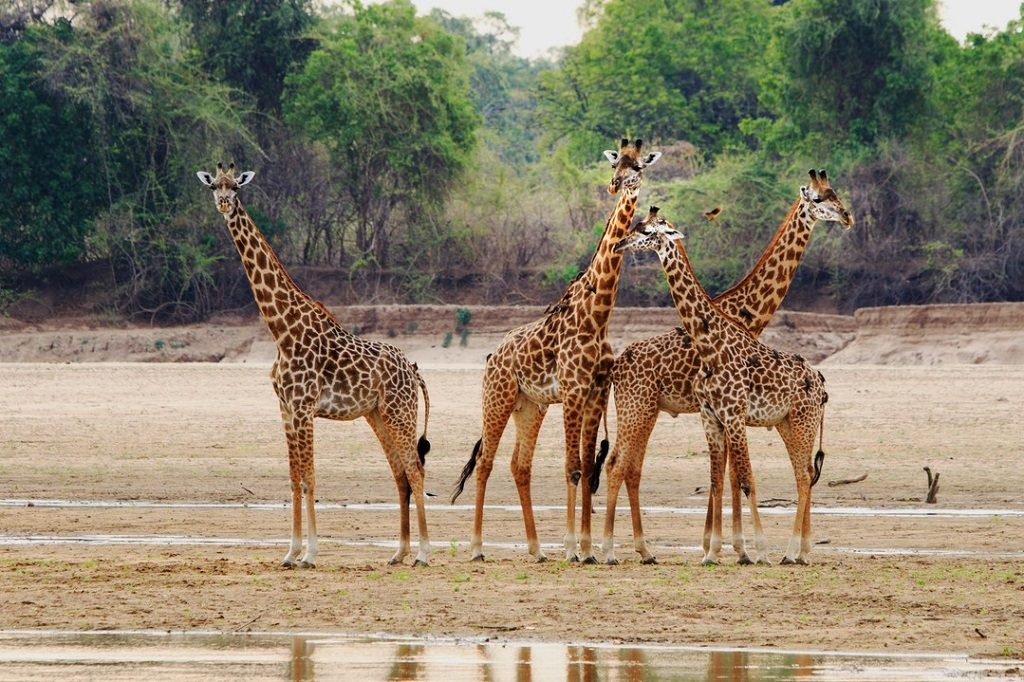 Giraffe Standing on the partially dry riverbed in South Luangwa National Park, Zambia,