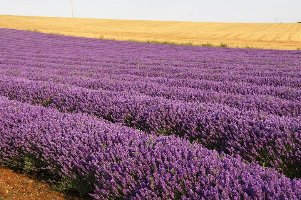 Heacham Lavender Fields Norfolk