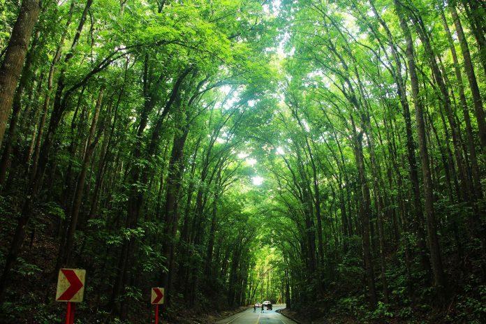 Man Made Forest in Bilar, Bohol, Philippines