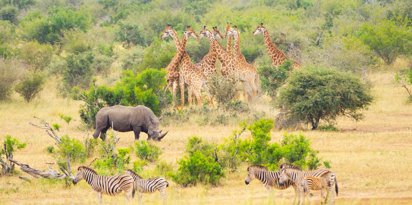 Safaris in Africa animals, zebra, rhino and giraffe in the savannah. Kruger National Park, South Africa. - visit Cape Town