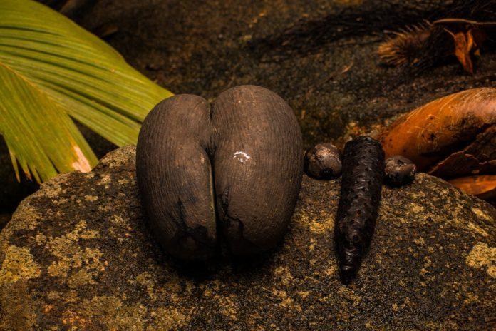 Coco bean at the Coco De Mer plantation, Seychelles - Seychelles budget travel