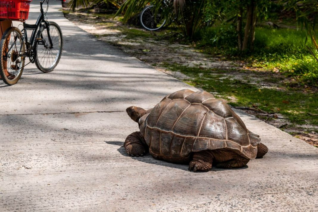 Giant Tortoise on the Road