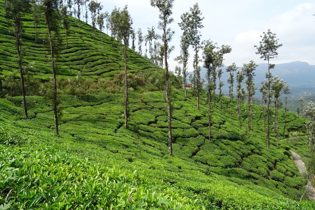 road trips from Bangalore to Chikmagalur-Tea-Plantation