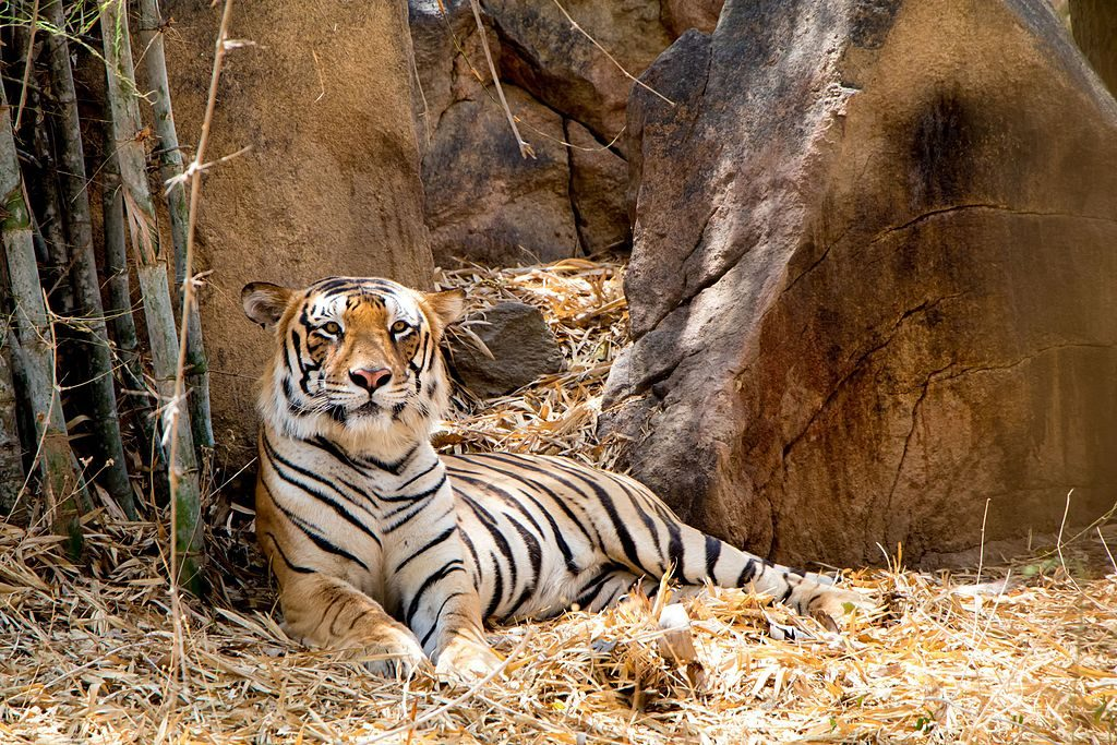 Bannerghatta is among the best National Parks in Karnataka to see a Tiger