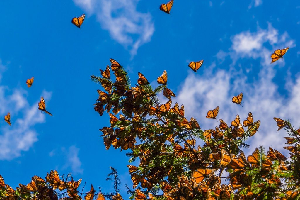 Monarch Butterflies Natural Phenomena