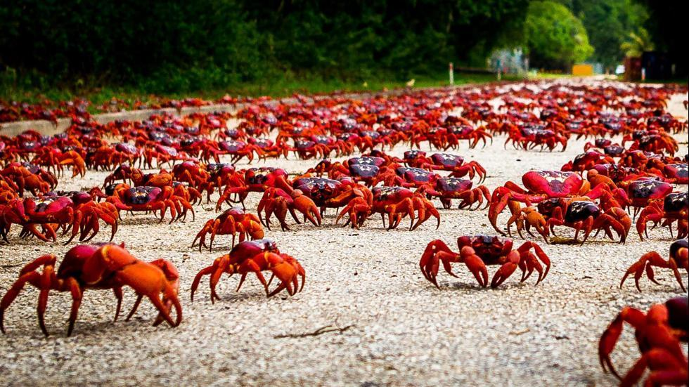 crab migration natural phenomenon