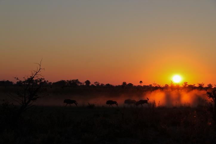 Witness wildebeests at the sunrise in Okavango Delta, Botswana during a safari in africa