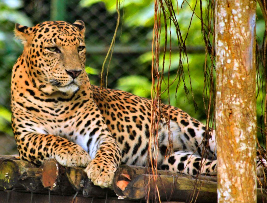A leopard in Nandankanan