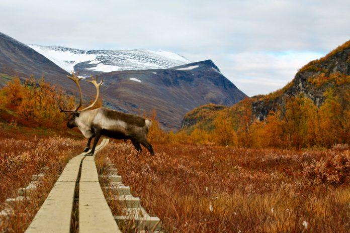 A reindeer in northern Sweden on the great foot walk Kungslegen