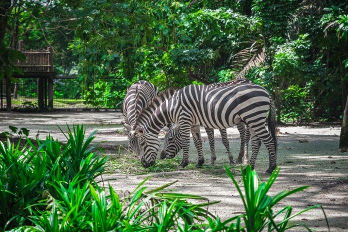 Three zebras eating dry hay