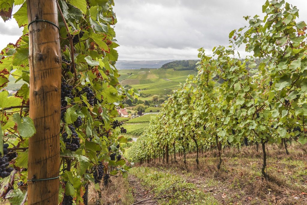 terraced vineyard on a rainy day in September - for more