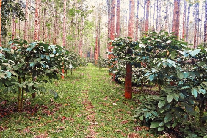 Robusta Coffee plantation in the forest in India