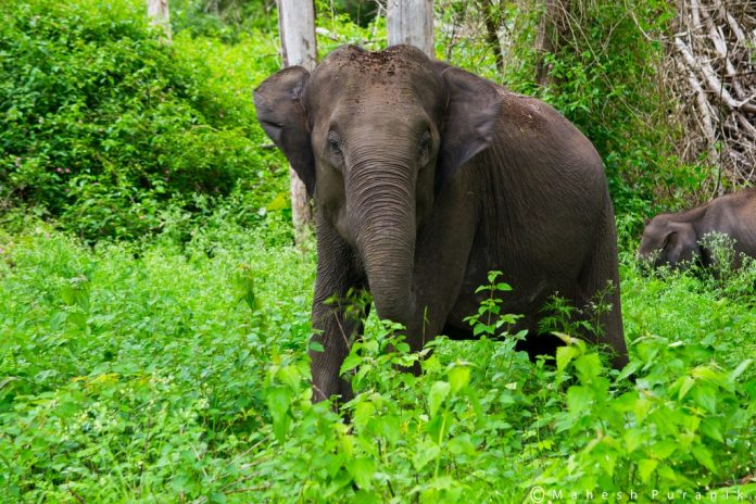 Wild Elephant at forest