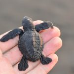 Save the Olive ridley turtles - Work as a volunteer in exotic destinations across the world!