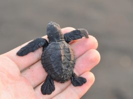 Save the Olive ridley turtles - Work as a volunteer in exotic destinations across the world