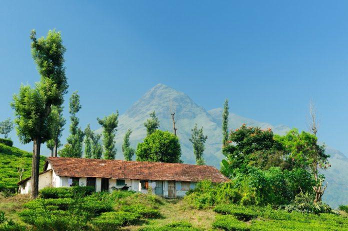 Tea Plantation in the estate in Kerala, India