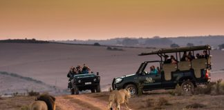 Tourists viewing lions on morning safaris in Africa guided safari, Hogwarts