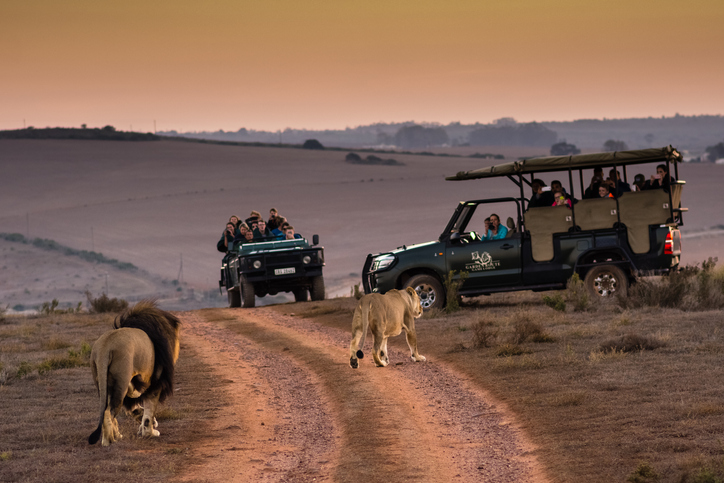 Tourists viewing lions on morning safaris in Africa