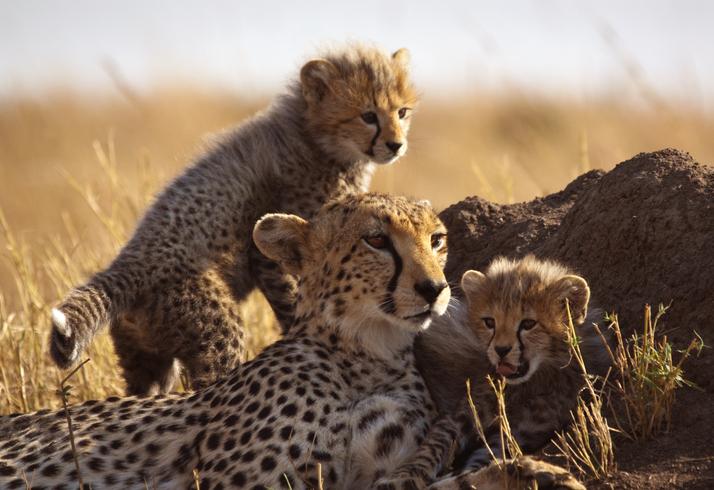 Mother cheetah and cubs at Masai Mara, Kenya