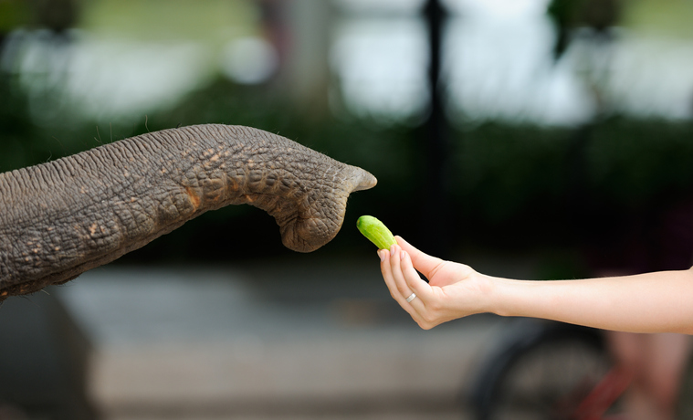 Feeding an Elephant