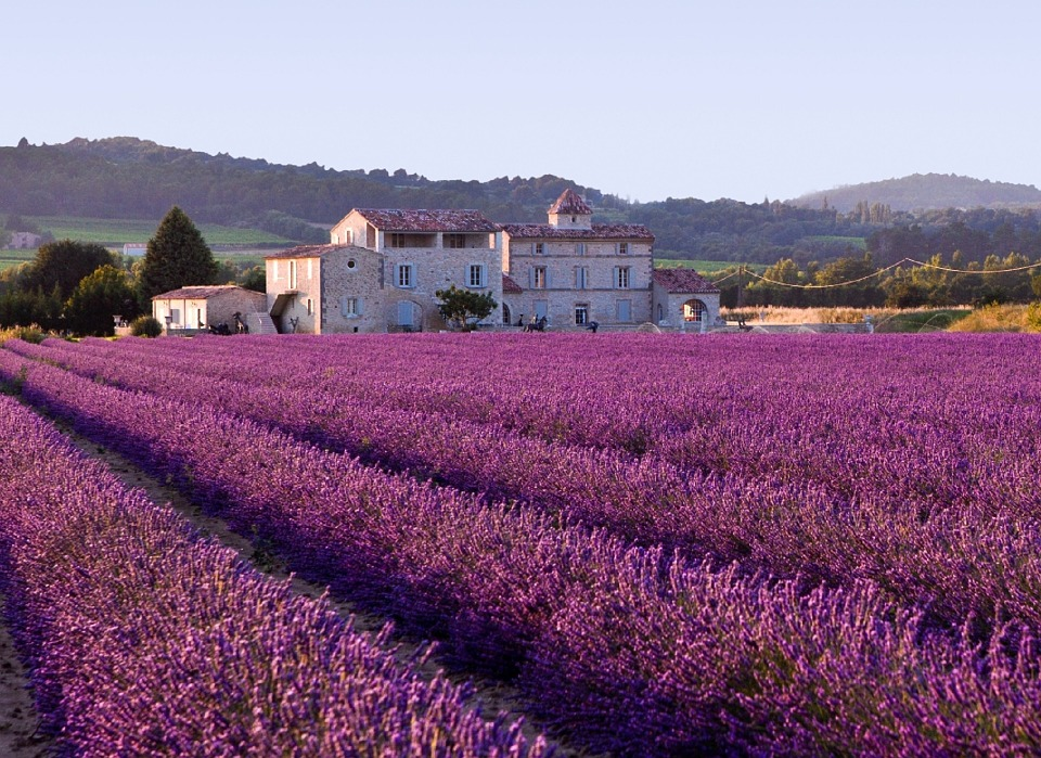 Lavender Field Plants Violet Aroma Agriculture