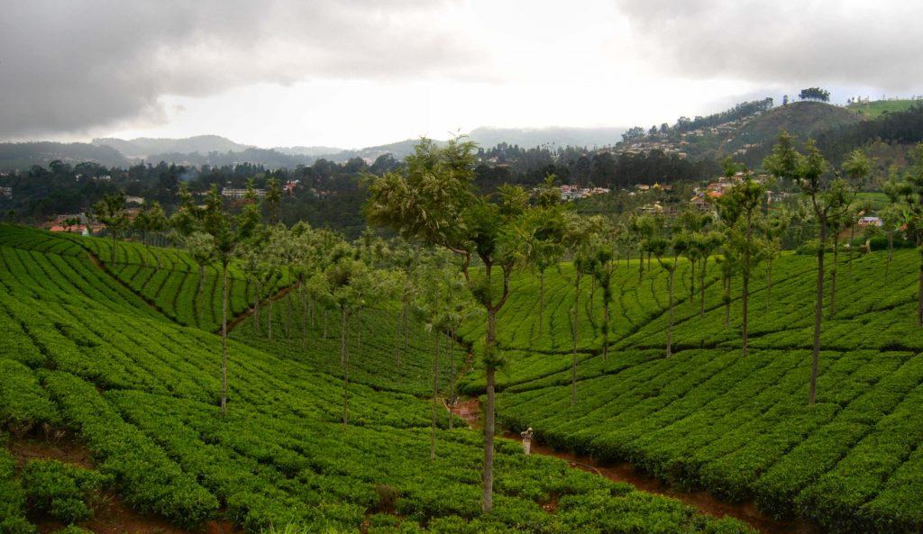The lush tea gardens of Coonoor, a hillstation near Bangalore