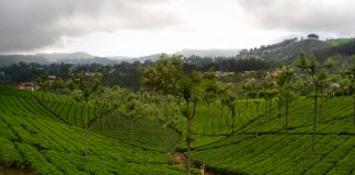 The lush tea gardens of Coonoor