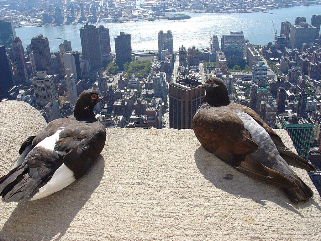 new-york-pigeons