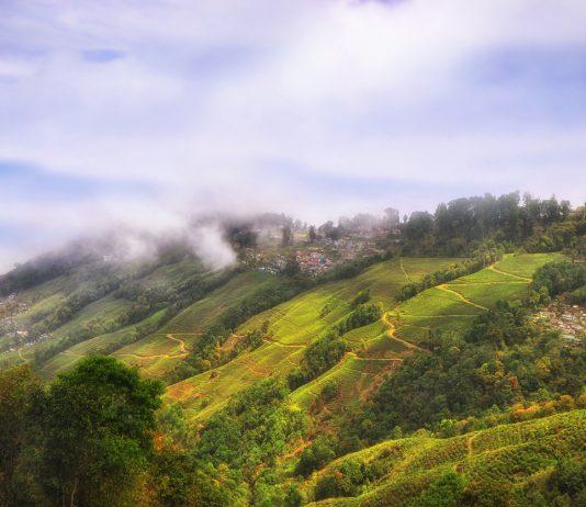 Tea plantation landscape on mountain in Darjeeling