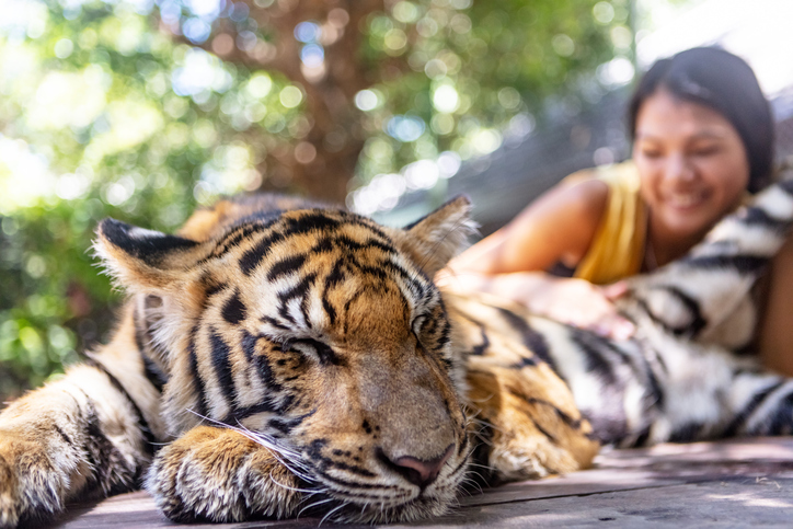 Asian female tourist petting tiger cub