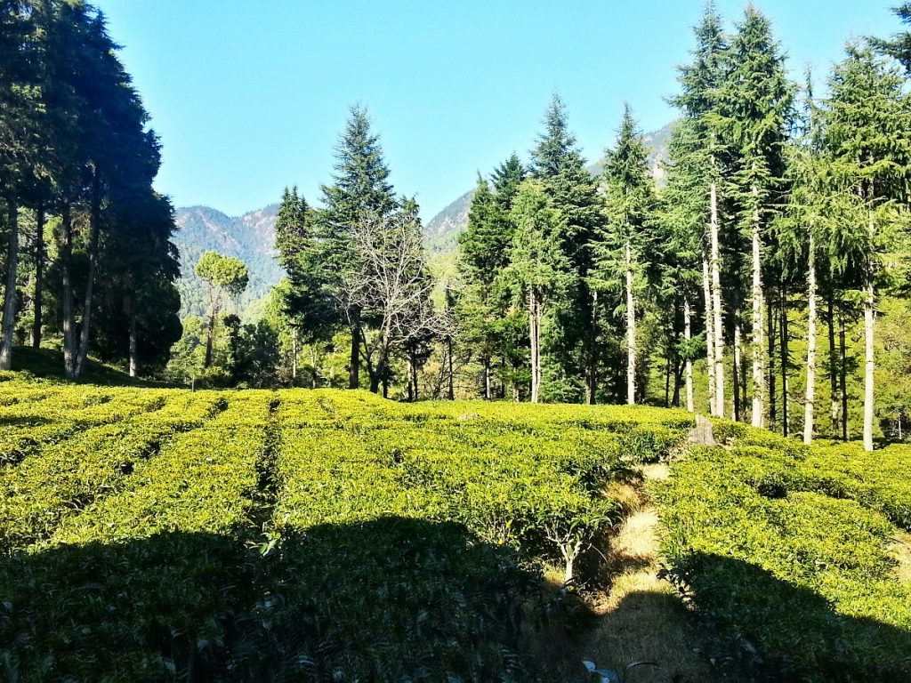Tea Gardens - Ghorakhal