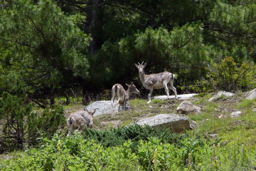 Uttarakhand Musk Deer