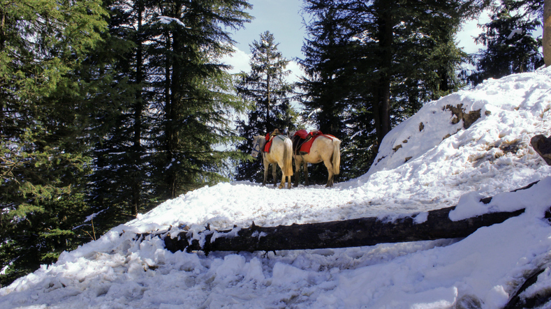two horse standing aside on the snowy hill Kufri