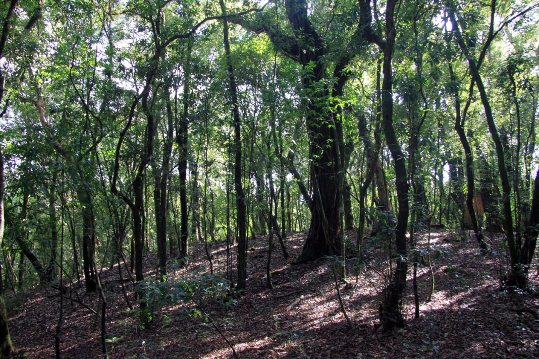 Mawphlang sacred forest in Megahalaya, India