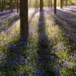 T'is the season of Bluebells in Dorset!