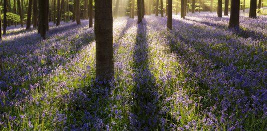 Bluebells in Dorset