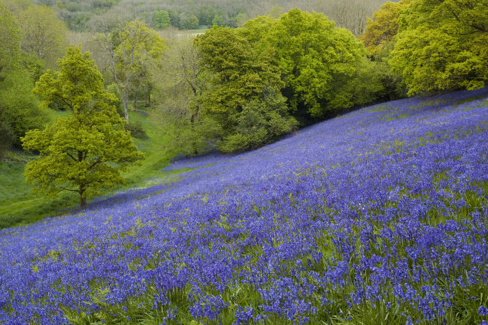 Bluebells in Dorset