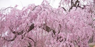Higan Weeping Cherry Tree in spring