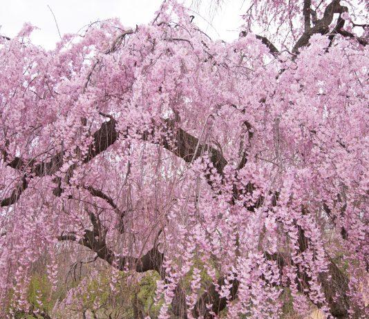 Higan Weeping Cherry Tree in spring